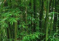 竹子的情懷