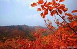 運城平陸,帶你邂逅秋日最美的那一抹紅,錯過了就等明年的吧!