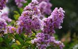 六瓣的花兒六月開,人稱癢癢樹,白居易乾隆都喜歡,你也會喜歡