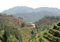 茶農這樣選擇茶樹品種?良種茶樹選擇的三個好處,讓你成為茶王