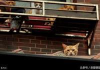 家裡貓咪會跳樓嗎?如果門窗不關……你就只能換貓了