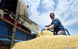 """""""畝產千斤能掙多少?""""魯北小麥豐收,37℃烈日老農這筆帳有些酸"""