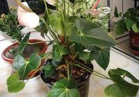 紅掌更具生活氣息,開花長達6個月,家裡養1盆,火熱氣氛真不錯!