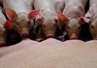 仔豬白痢的防治