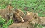 戰鬥,水牛沒有獅子聰明,水牛活活的被咬死兩隻