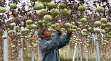 大叔種10畝油葫蘆收10000萬個成品,能賣30萬