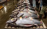 實拍日本海鮮市場金槍魚拍賣:價值過萬的金槍魚,猜拳決定歸屬