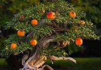 """盆栽石榴這樣一""""修剪"""",枝幹壯,美如盆景老樁,茂盛、果子多!"""