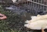 熊孩子趁人不注意,跟院裡鴨子打成一片,媽媽見這畫面臉都氣綠了