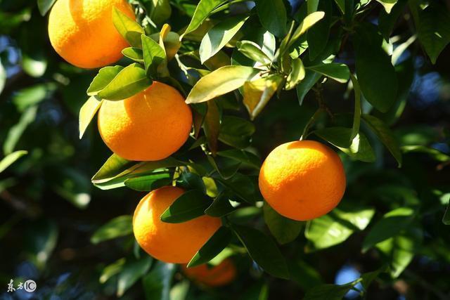 柑橘病蟲害及防治