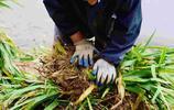 一夜間農民瘋狂挖草,小編心在滴血,1分錢一株農民一天掙20元
