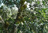 菠蘿蜜樹掛果多了,但大小果分化嚴重,有什麼好辦法改善?