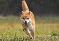 走紅網絡深得大家喜愛的柴犬個性如何?飼養柴犬需要注意哪些問題