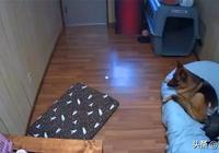 主人怕貓咪欺負德牧,在家裝上攝像頭,看到監控主人:我錯了