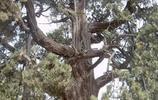 這棵樹,蓋茨+馬雲也買不起,活了5000年,知道誰種的就明白了