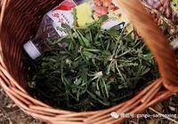 苦苣酸菜——甘谷人的最愛