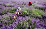 何必去普羅旺斯?這裡即將成為紫色天堂