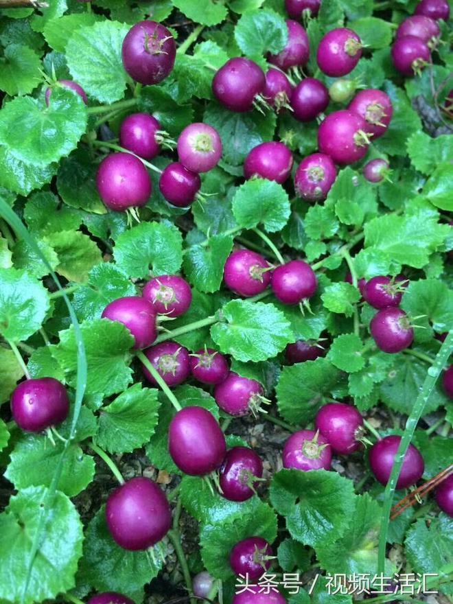 大山裡漂亮的紫色野果不知道叫什麼名字廣元的朋友們知道嗎