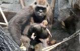 小猩猩不幸離世,母猩猩做法看出了眾人