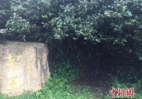 《貴州省古茶樹保護條例》出臺