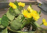 """想讓仙人掌開花,滿足它2個""""條件"""",不僅能開花,還能結""""果"""""""