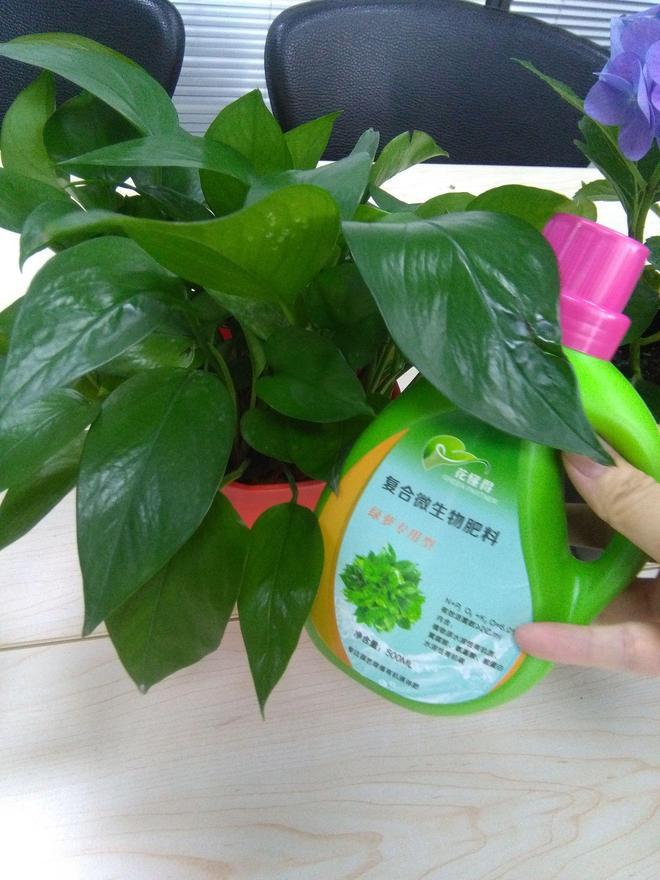 學綠蘿基地老闆這樣養綠蘿,搞不好哪天成綠蘿大戶了