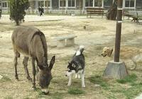 哈士奇到農村欺負驢 咬住驢尾巴,驢:想嚐嚐被驢踢的滋味嗎?