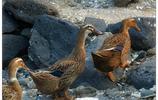 農村家禽的生活百態