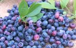 藍莓(Blueberry)