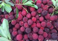 農村種植的楊梅就快成熟了,您喝過楊梅酒嗎?