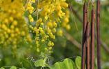"""掛著的是去年的""""臘腸"""",散落的將是一場黃金雨——臘腸樹"""