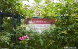 宿州網紅打卡地--沱河岸邊月季園