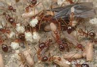 如何區分螞蟻和白蟻?