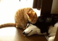 """二哈橘貓""""初次相親"""",二哈直接吻上去,下一秒橘貓表情笑瘋"""