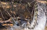 實拍美洲豹大戰凱門鱷全過程:美洲豹捕殺鱷魚只需5分鐘!