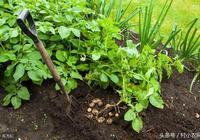 土豆要想長得好,在播種後,就要這樣做好了田間管理!