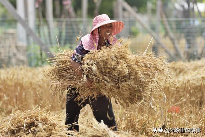 實拍一戶人家的麥收場景——地點:山西永濟