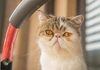 流浪加菲貓敲窗,長得醜嚇壞小姐姐,目前已收養起名鰲拜