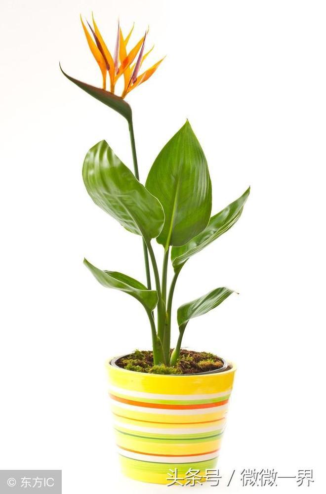 鶴望蘭簡介及圖片欣賞,鶴望蘭又名天堂鳥之花