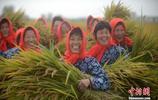江蘇水鄉水稻成熟 百萬畝水稻開鐮收割
