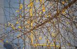 鄭州:人民公園銀杏樹葉已凋零 要想再賞美景須再等一年