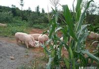 """農村常說,""""豬來窮,狗來富,貓來頭頂白布。""""到底有什麼意思"""