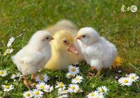 農曆4月,生肖雞、生肖狗、生肖豬的運勢如何?
