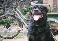 一隻純種的羅威納犬需要多少錢?怎樣辨認純種羅威納犬
