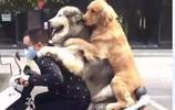 主人騎車帶金毛和阿拉回頭率百分百,網友表示超載了去交罰款