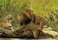 虎和獅誰才是真正的萬獸之王?