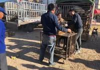 狗市:大丹犬因能吃主人將它賣作肉犬,商販很喜歡開出千元高價!