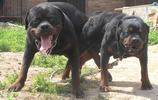 動物圖集:羅威納犬圖片