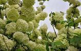 圖蟲風光攝影:繡球花
