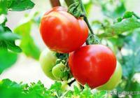 西紅柿收成低,個頭小?農村大媽有技巧,學會了種出來個大味甜